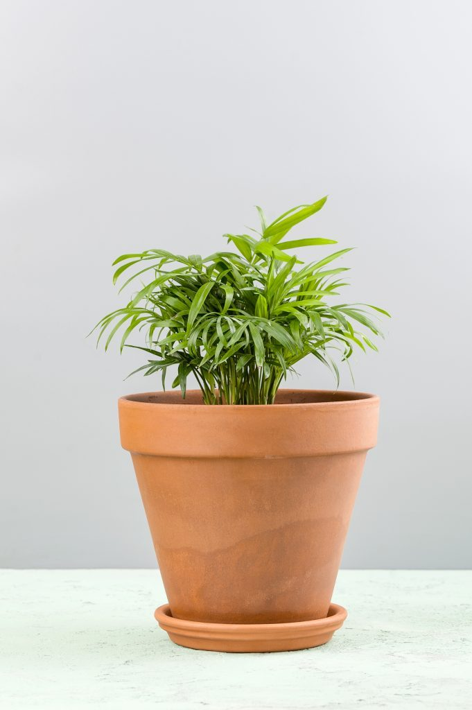 Small pot plant
