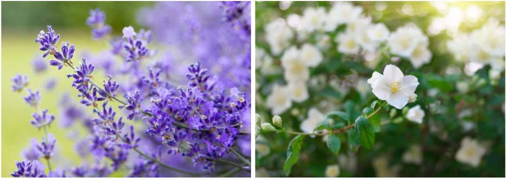 Lavender and Jasmine